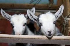 Twee leuke kleine geiten op het landbouwbedrijf, het glimlachen geiten Stock Afbeeldingen