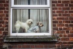 Twee leuke kleine honden die uit een venster kijken royalty-vrije stock foto