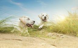 Twee leuke kleine puppy van de labrdorhond op duinen bij strand Stock Fotografie