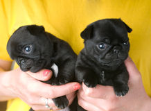 Twee leuke pug puppy Stock Fotografie