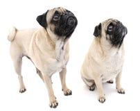 Twee Leuke Pugs Royalty-vrije Stock Foto's