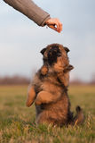 Twee leuke puppy die voor een traktatie longing royalty-vrije stock afbeelding