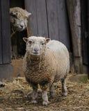 Twee leuke schapen stock fotografie