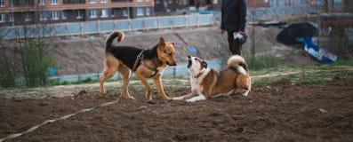 Twee leuke stedelijke honden, herder en Franse buldog die, die krijgen het te weten en elkaar begroeten door te snuiven royalty-vrije stock fotografie