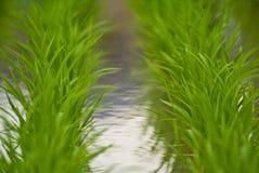 Twee lijnen van rijstinstallaties Royalty-vrije Stock Afbeeldingen