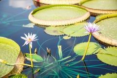 Twee Lillies en Lilly Pads Royalty-vrije Stock Afbeelding