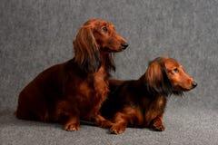 Twee Longhair tekkels Royalty-vrije Stock Fotografie