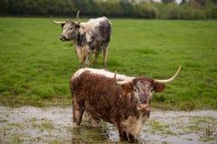 Twee longhornvee op regenachtige dag in het UK stock foto