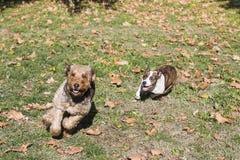 Twee lopende honden royalty-vrije stock afbeelding