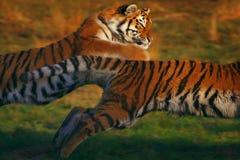 Twee lopende Siberische Tijgers Royalty-vrije Stock Afbeeldingen