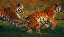 Twee lopende Siberische Tijgers Stock Fotografie