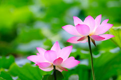 Twee lotusbloembloemen Stock Foto