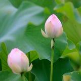 Twee lotusbloembloemen zijn bloeiend royalty-vrije stock afbeeldingen