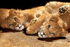 Twee luie leeuwen die de camera bekijken stock afbeeldingen