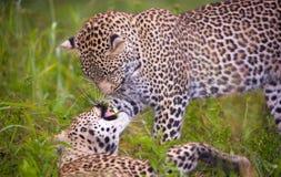 Twee luipaard het spelen in savanne Stock Foto's