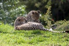 Twee luipaarden stock afbeelding