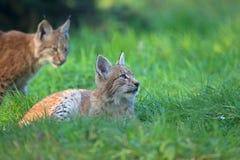 Twee lynxen in het wildpark stock foto