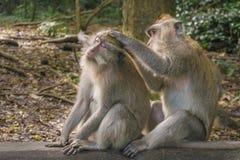 Twee Macaque-apen Royalty-vrije Stock Afbeeldingen