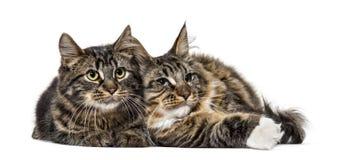 Twee Maine Coon kat die samen 6 maanden oud rusten Royalty-vrije Stock Foto's