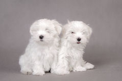 Twee Maltese hondpuppy Royalty-vrije Stock Foto