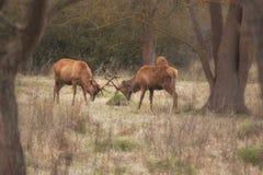 Twee mannelijke deers Royalty-vrije Stock Foto's