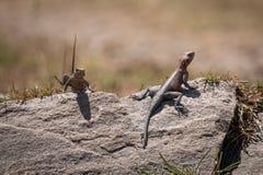 Twee mannelijke gemeenschappelijke agamas zonnebaden op rots stock fotografie