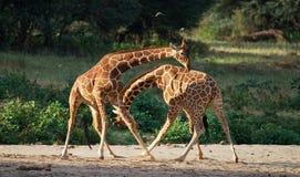 Twee mannelijke giraffen die elkaar in de savanne bestrijden kenia tanzania 5 maart 2009 royalty-vrije stock foto