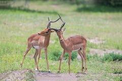 Twee mannelijke impalastrijd binnen voor de kudde met beste grondgebied Stock Afbeelding