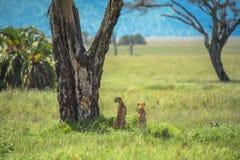 Twee mannelijke Jachtluipaarden die in de afstand, Serengeti, Tanzania staren royalty-vrije stock afbeeldingen