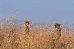 Twee mannelijke jachtluipaarden in Masai Mara Royalty-vrije Stock Foto