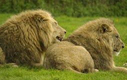 Twee mannelijke leeuwen Royalty-vrije Stock Afbeelding