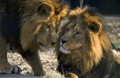 Twee mannelijke leeuwen Stock Foto