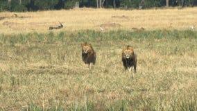 Twee mannelijke leeuwen letten op een rivaliserend mannetje in masai mara, Kenia stock videobeelden