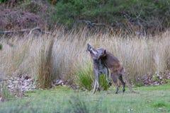 Twee mannelijke met rode hals, bennett wallaby het vechten stock fotografie