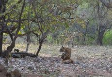 Twee Mannelijke tijgers van Subadults, het Nationale park van Ranthambhore, Rajasthan, India stock afbeelding