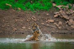 Twee mannelijke tijgerwelpen spelen en vechten met elkaar op een regenachtige dag in moessonseizoen bij het Nationale Park van Ra stock fotografie