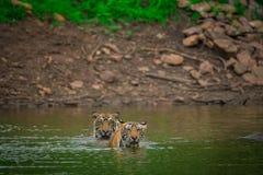Twee mannelijke tijgerwelpen in waterhole op een regenachtige dag in moesson bij het Nationale Park van Ranthambore stock afbeeldingen