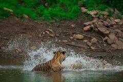 Twee mannelijke tijgerwelpen in waterhole op een regenachtige dag in moesson bij het Nationale Park van Ranthambore royalty-vrije stock foto