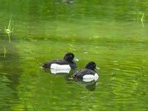 Twee mannetjes die van Tufted Eend of Aythya-fuligula in rivier, close-upportret, selectieve nadruk, ondiepe DOF zwemmen royalty-vrije stock foto