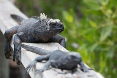 Twee Marine Iguana Galapagos zitting achter elkaar op traliewerk stock foto's