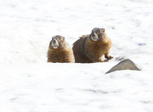 Twee marmotten Royalty-vrije Stock Foto