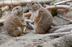 Twee marmotten Stock Foto