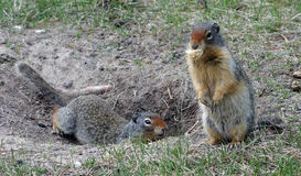 Twee marmotten bij een kampeerterrein in de rotsachtige bergen stock fotografie