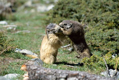 Twee marmotten die van aangezicht tot aangezicht vechten Royalty-vrije Stock Afbeeldingen