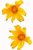 Twee maxican zonnebloemen met witte achtergrond Stock Afbeeldingen