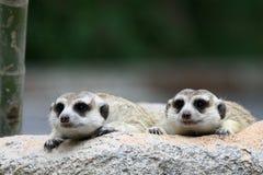 Twee meercat het kijken Royalty-vrije Stock Afbeeldingen
