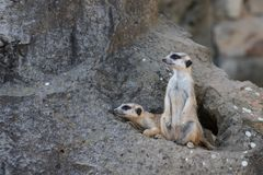 Twee Meerkat op rots vóór het leger royalty-vrije stock afbeelding