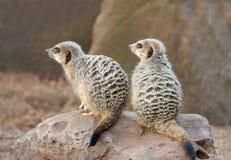Twee Meerkats op de plicht van de Wacht Royalty-vrije Stock Foto's