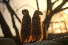 Twee Meerkats tegen de grote boom Royalty-vrije Stock Afbeeldingen