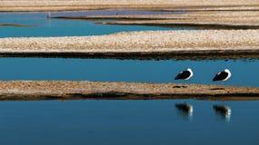 Twee meeuwen in het meer Royalty-vrije Stock Foto's